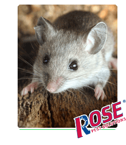 House Mouse in Ohio