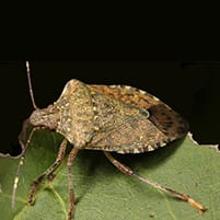 brown marmorated stink bug in troy mi