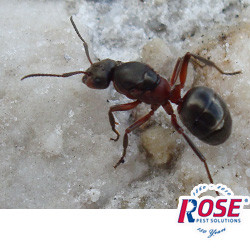 Carpenter Ants Become A Pest Problem When The Weather Warms