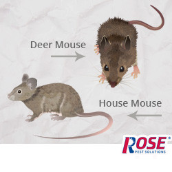 Blog - Rose Pros Identify Deer Mouse vs. House Mouse