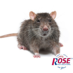 Stop Norway Rats And Other Rodents With Help From Rose