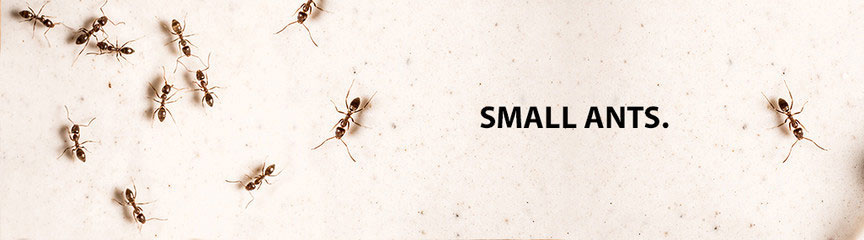 how to kill small black ants