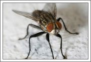 house fly information