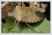 Learn More About Stink Bugs in Detroit