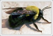 Carpenter Bee Identification and Information