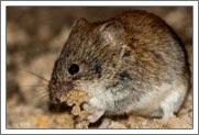House Mouse Identification