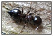 learn more about small ants