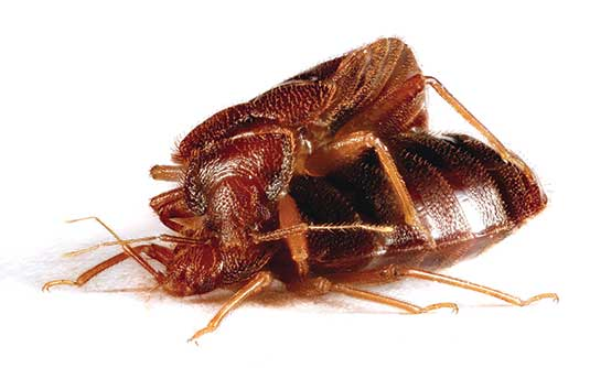 bed bug mating