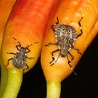 brown marmorated stink bug nymphs in michigan