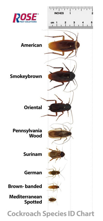 cockroach identification chart