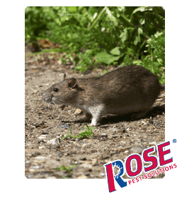 Rat Are A Major Pest Problem For Michigan And Ohio