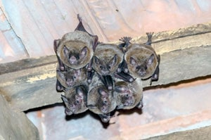 photo of bats in attic