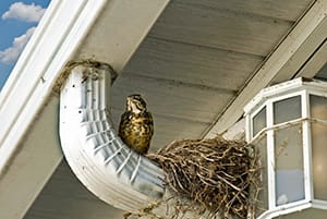 bird nest under house gutters