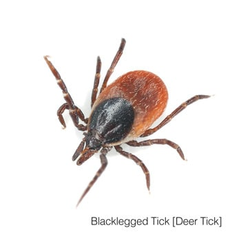 blacklegged tick on white background