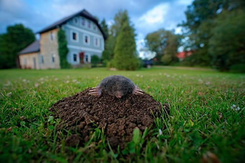 mole emerging from tunnel on mound