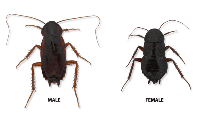 Types Of Cockroaches In Michigan, Ohio and Indiana