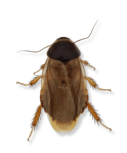 Types Of Cockroaches In Michigan Ohio And Indiana